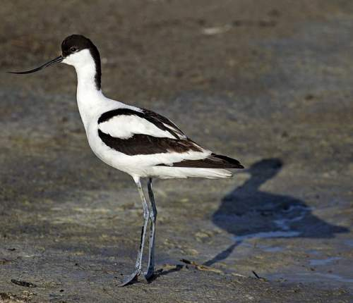 Indian birds - Picture of Pied avocet - Recurvirostra avosetta
