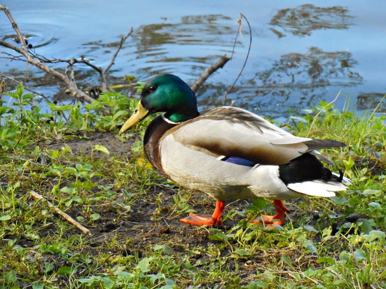 ptaki wodne, spacer nad jeziorem, zwierzęta, przyroda