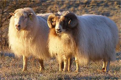 Resultado de imagen de oveja carnero