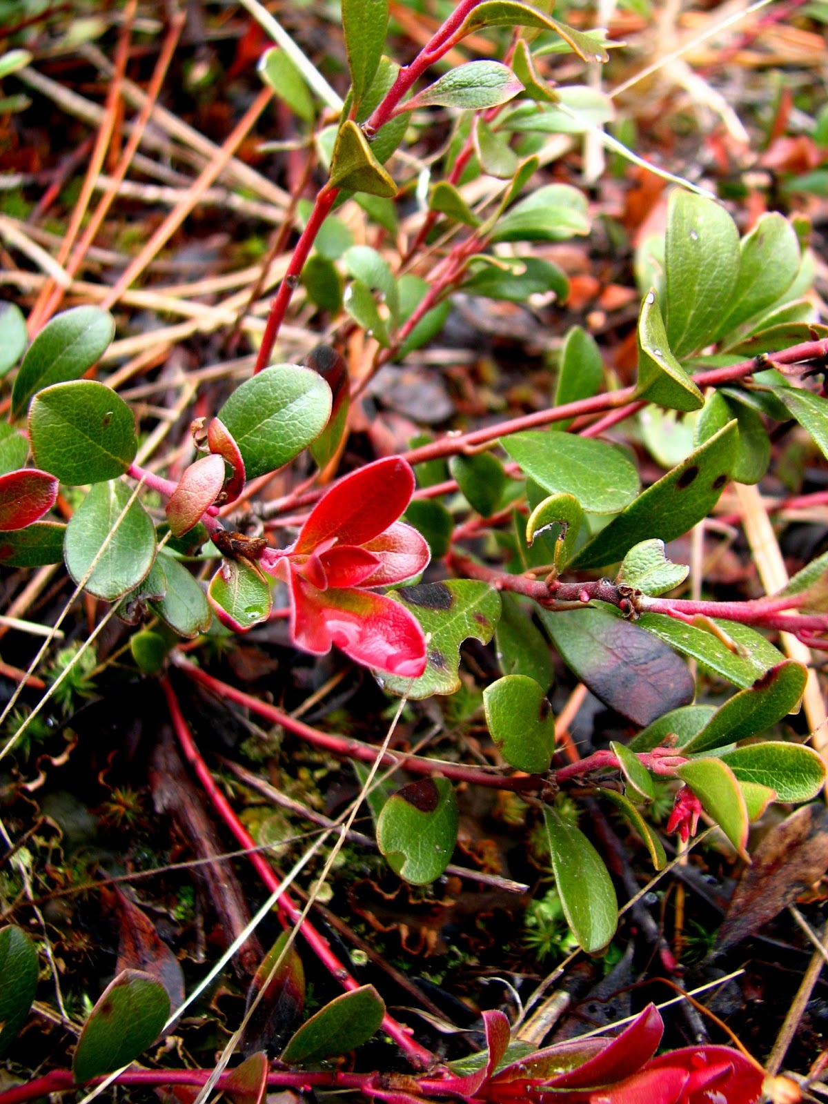 Flora montana: Bearberry
