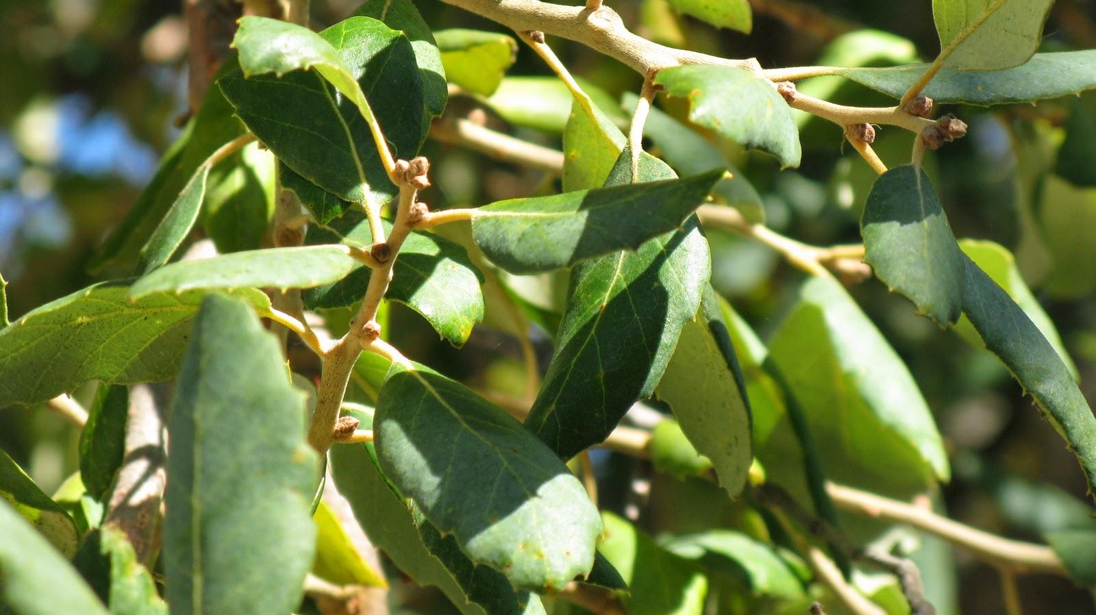 Trees of Santa Cruz County: Quercus suber - Cork Oak