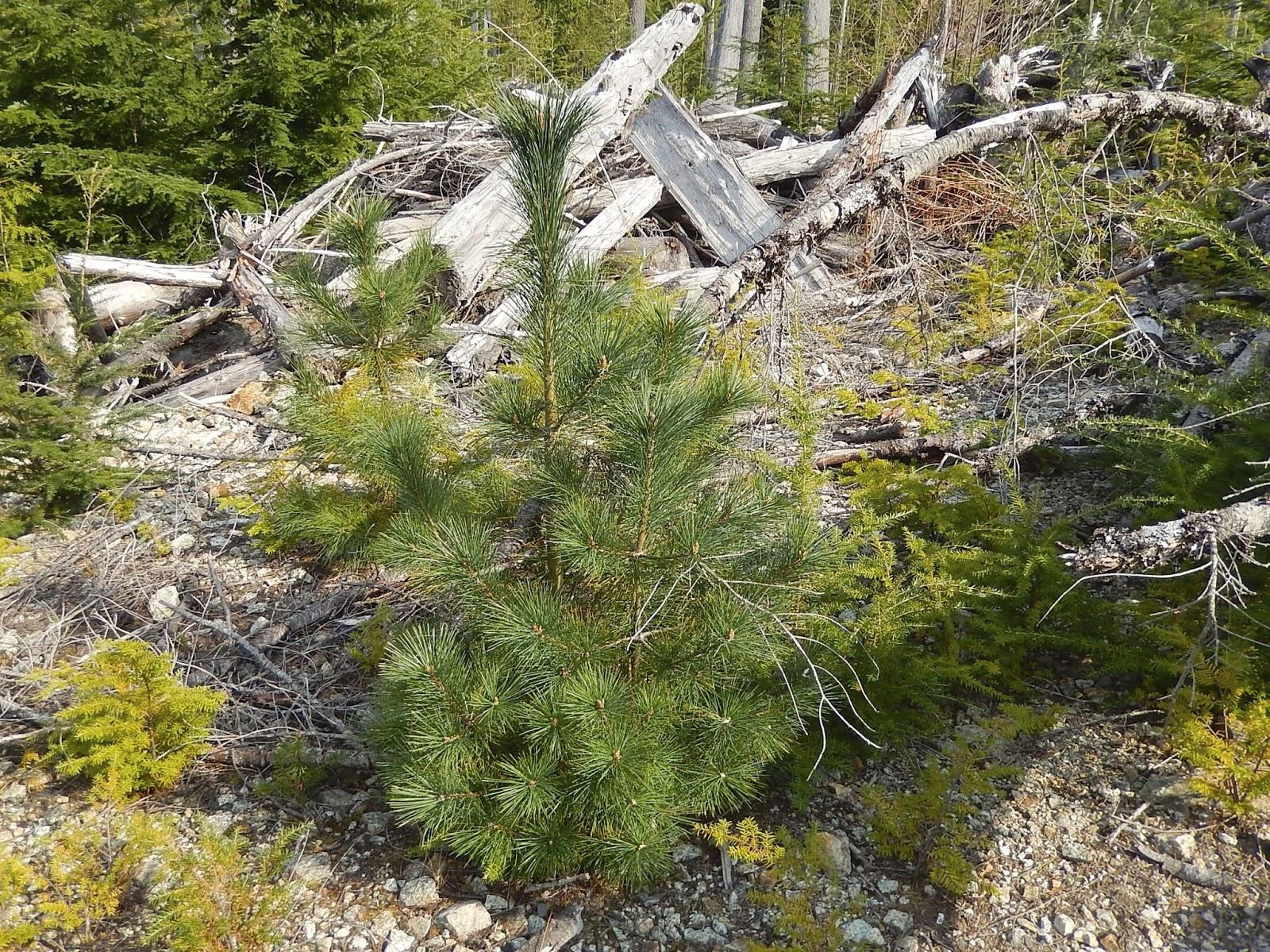 Powell River Books Blog Coastal Bc Plants Western White Pine
