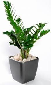 Zamioculcus%2Bzamifolia.png