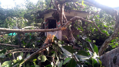 Banyan tree damages chautara