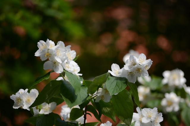 jaśmin, jasminum