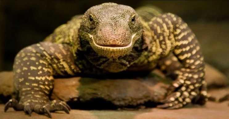 Timsah varanı adını dış görünüşünden alır, fakat timsahlar kadar tehlikeli değildir.