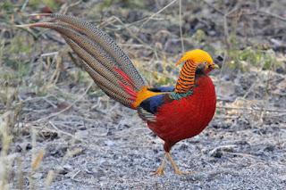 golden pheasant 2 11 Foto Golden Pheasant Terbaru Jual Ayam Hias HP : 08564 77 23 888   BERKUALITAS DAN TERPERCAYA Foto Golden Pheasant Terbaru Galeri Foto Golden Pheasant Terbaru