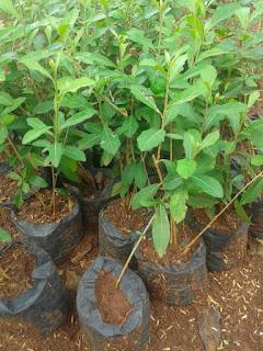 Jual Tanaman Lee Kuan Yew Murah, Pohon Menjuntai Ke Bawah