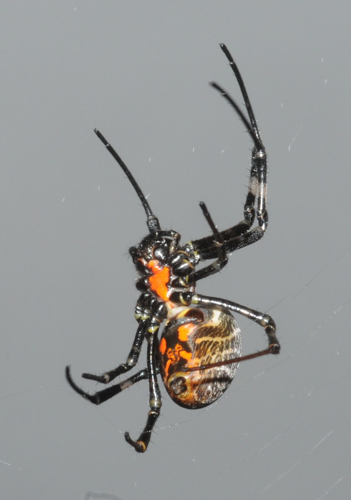 Black Widow Spider Picture | Male Models Picture