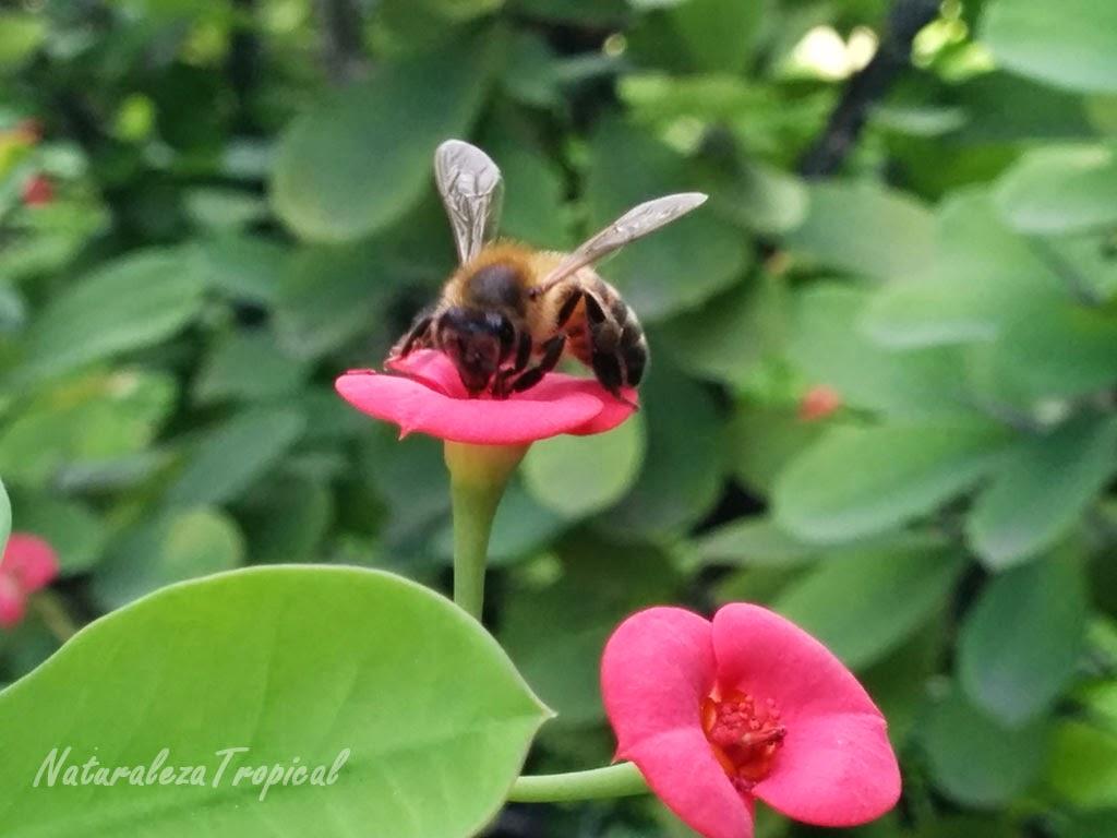Flor Coronita de Cristo siendo polinizada por una abeja