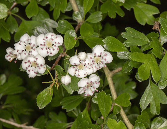 Hybrid Hawthorn, Crataegus x media.  C. monogyna x C. laevigata. Near Jail Lane, 21 May 2016
