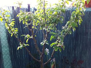 La mar de verde el manzano arboles frutales en maceta - Como cuidar los arboles frutales ...