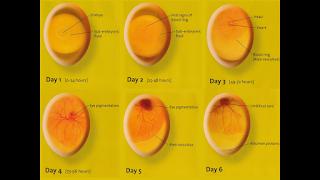 embrio ayam usia 1-6 hari dalam mesin tetas