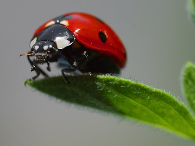 lady bird insect | Coccinellidae