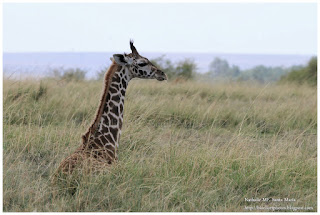 https://bioclicetphotos.blogspot.fr/search/label/Girafe%20Masa%C3%AF