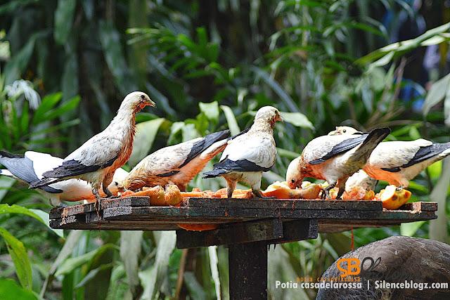 imperial pegeon
