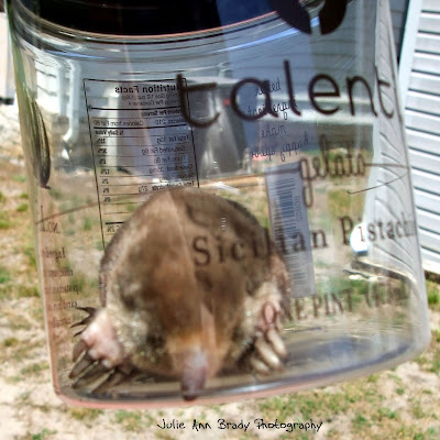 Eastern Mole in a Talenti Jar