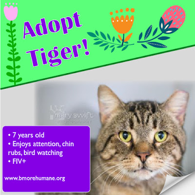 Adopt Tiger--Baltimore Humane Society