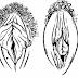 Anatomies sexuelles féminines