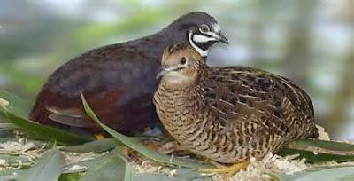 Klasifikasi Burung Puyuh Salju (Anurophasis monorthonyx)