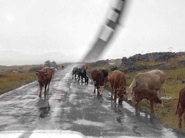 Vacas sueltas en Isla de Pascua