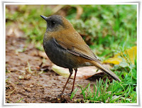Nightingale Bird Animal Pictures