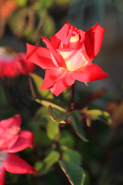 Red Rose in the Morning Sunshine - Flower Photography by Mademoiselle Mermaid.