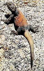 Chuckwalla Facts, Amazing Animals Chuckwalla lizards, Chuckwalla Lizards Amazing Fact