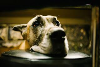 Las lesiones que pueden causar cojera en los perros , Cojera canina es una afecciòn muy común y lo curioso es que no es sólo debido a la vejez que este problema es causado
