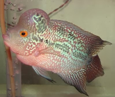 HOW TO INCREASE FLOWERHORN HEAD (HUMP)