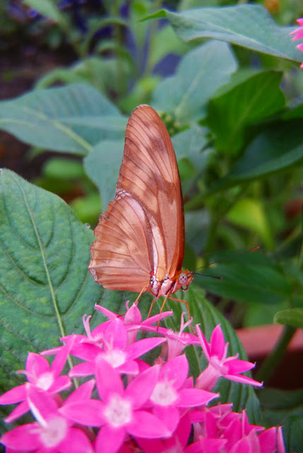 brown butterfly, dryas julia