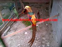 Macam Macam Ayam Pheasant