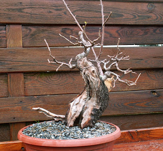 Pre bonsai  Prunus mahaleb Yamadori Dead wood  Uro
