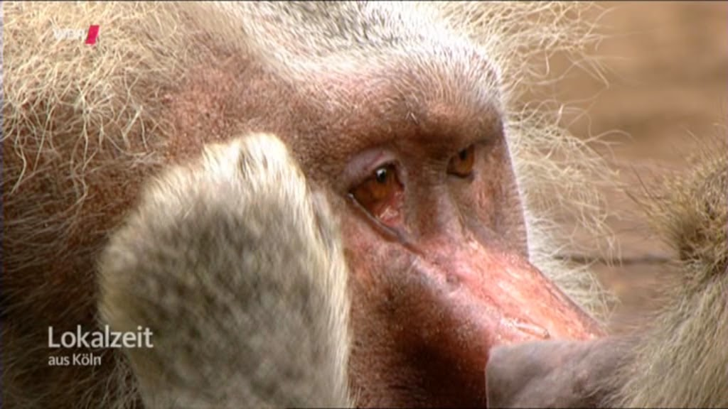 Der 100 Affe
