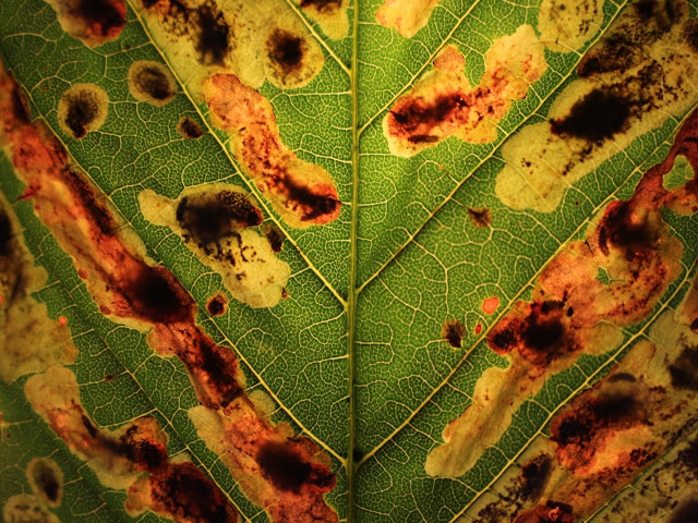 Horse chestnut leaf with leaf miner moth