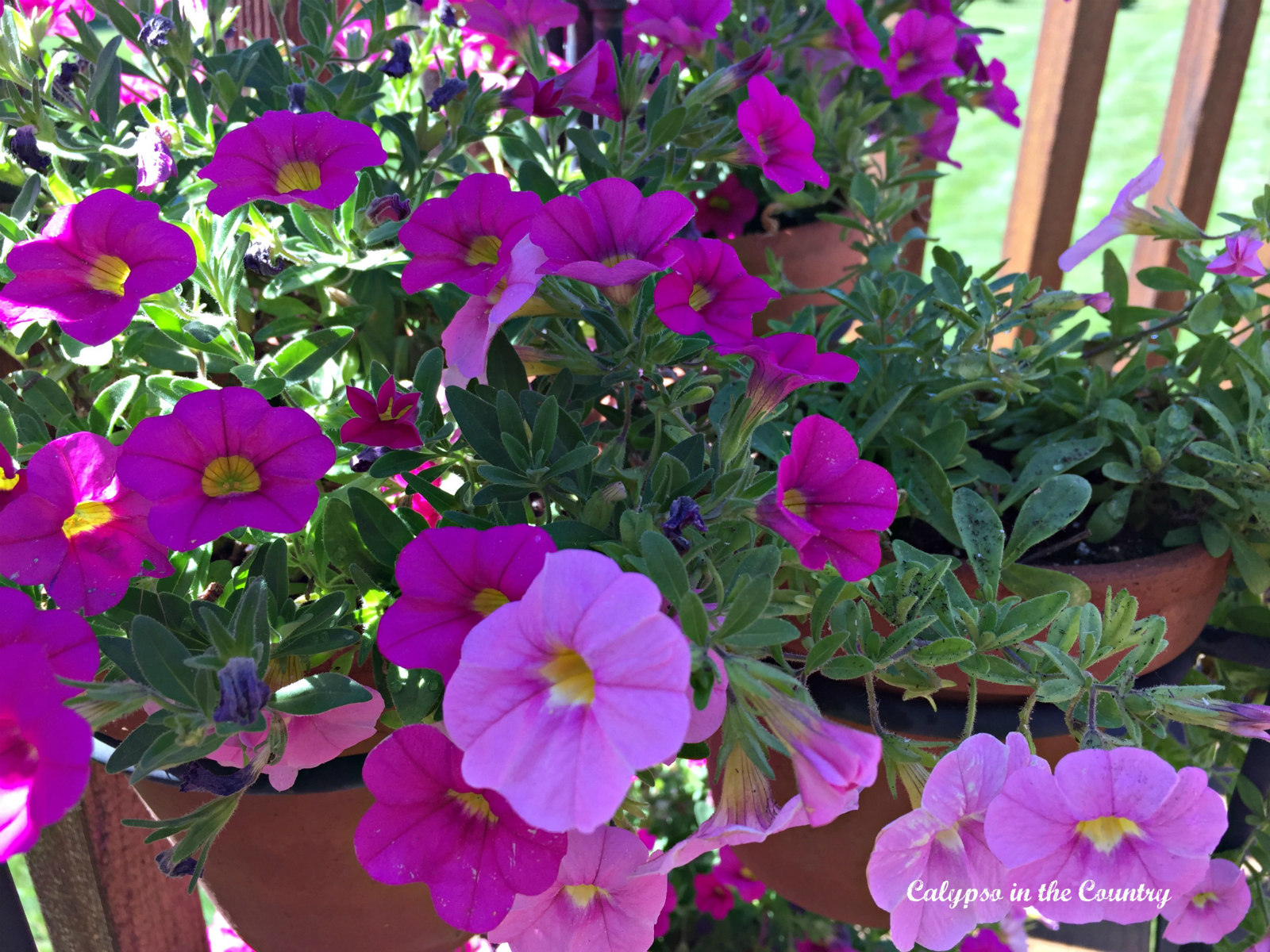Petunias in the spring
