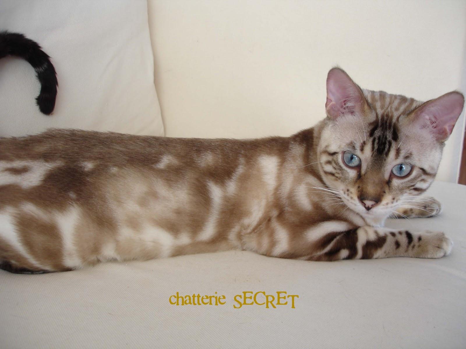 Le chat Bengal: Robes et génétique