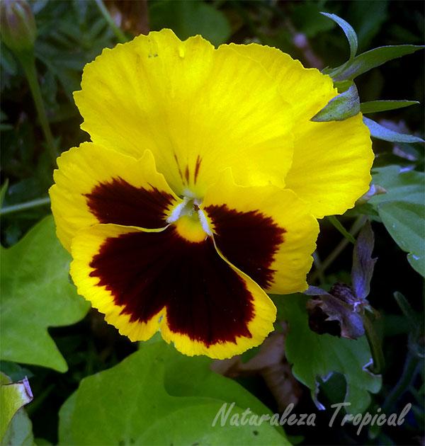 Variedad amarilla de la flor del Pensamiento, Viola × wittrockiana