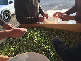 """<img src=""""2017 olive harvest.jpg"""" alt=""""sorting the olives for harvest"""">"""