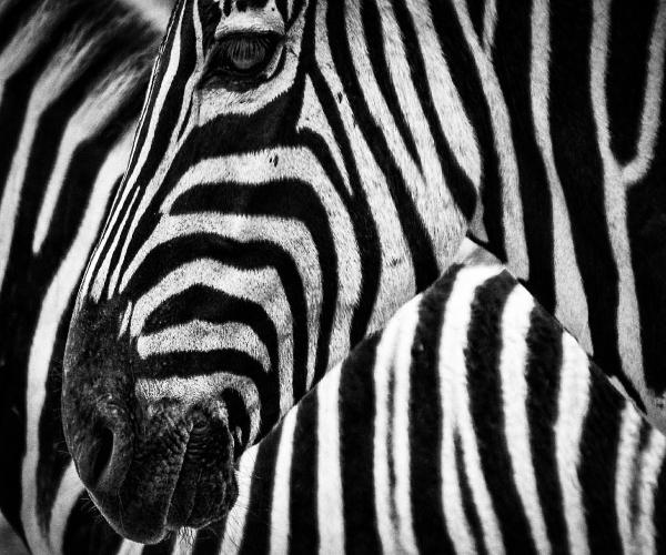 zebra-camuflagem-listras