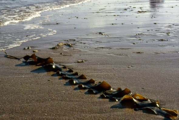 A long strand of sugar kelp on a beach in the Heligoland archipelago off north Germany (Credit: Grabriele Kothe-Heinrich via Wikimedia Commons) Click to enlarge.