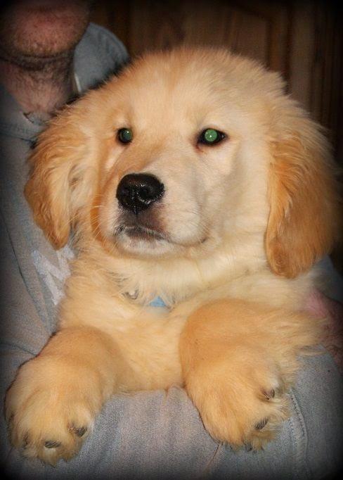 Golden Cute Fluffy Puppy
