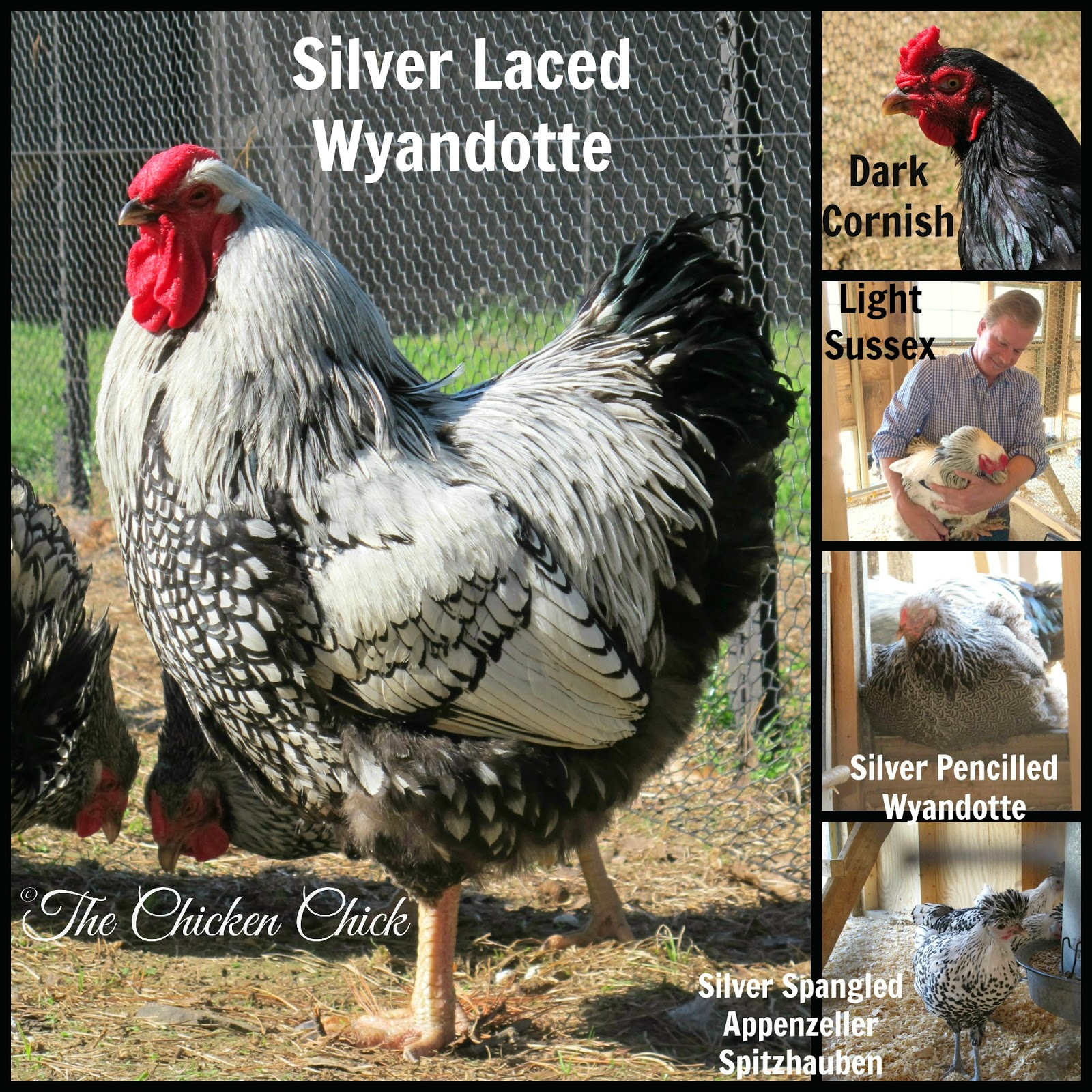 Silver Laced Wyandotte, Dark Cornish, Light Sussex and Silver Spangled Appenzeller Spitzhauben chickens P Allen Smith's Moss Mountain Farm