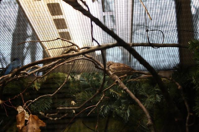Song sparrow at Willowbrook Nature Center.