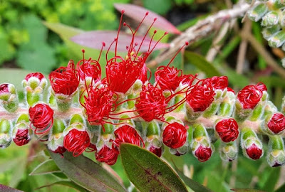 Red Callistemon viminalis stamens emerging from buds