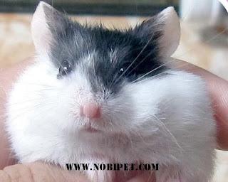 cach-phan-biet-chuot-hamster-winter-white-ww-va-campell-chuyen-nghiep-9