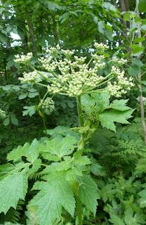 Berce laineuse - Heracleum maximum - Berce très grande