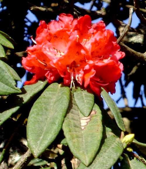 Picture of flower symbol - Rhododendron arboreum