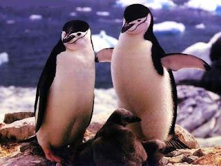 Pinguinos compiten con gaviota