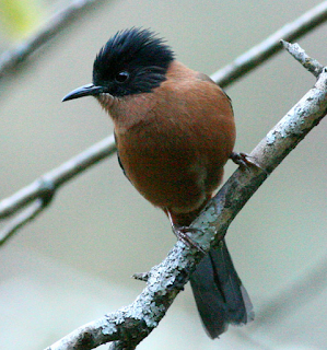 Burung masteran Rufous sibia mp3